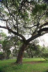 Canon206510 (godrudy6661) Tags: neworleans audubonpark treeoflife oaktrees