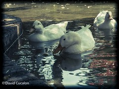 Ducks (David Cucalón) Tags: city water animals del vintage agua ducks retro animales patos llobregat cornella cucalon animalcity davidcucalon