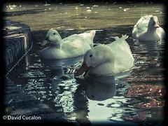 Ducks (David Cucaln) Tags: city water animals del vintage agua ducks retro animales patos llobregat cornella cucalon animalcity davidcucalon