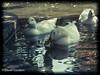 Ducks (David Cucalón) Tags: city water animals del vintage agua ducks retro animales patos llobregat cornella cucalon animalcity davidcucalon