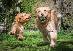 Cooper and Alfie (Chris Willis 10) Tags: portrait dog pet dogs labrador play action running retriever cooper spaniel cocker alfie wwwpawsforaphotocom