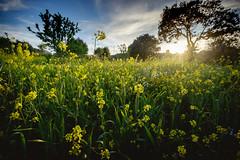 Spring is here (Mallorca) (el vuelo del escorpin) Tags: flowers sunset espaa flores primavera field atardecer golden countryside spring spain fuji flor campo mallorca goldenhour baleares 1024 balearicislands xe2