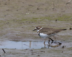 Killdeer (J.B. Churchill) Tags: ny newyork birds us kill unitedstates killdeer places seneca taxonomy shorebirds senecafalls senecacounty montezumanwr