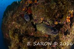 Murenes (ManuS UWPhotos) Tags: ga poissons mediterranee lestartit murne allnaturesparadise