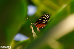 Is it a butterfly or a wasp? (Leroy Brussee) Tags: macro butterfly vlinders luttelgeest orchideeenhoeve canon100mml