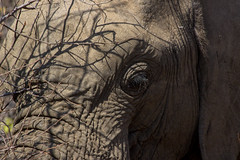 rough skin (felipeepu) Tags: elephant eye skin south safari afrika elefant auge haut
