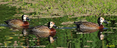 (681b) White-Faced Whistling-Duck - [ Bueno Aires, Argentina ] (tinyfishy's World Birds-In-Flight) Tags: white bird southamerica argentina duck aires faced threesome bueno whistling whitefaced whistlingduck