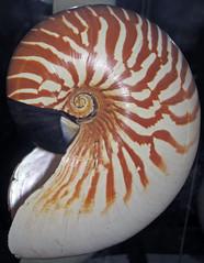 Nautilus stenomphalus (white-patch nautilus) (Mindanao, Philippines) 2 (James St. John) Tags: white philippines shell patch nautilus mindanao cephalopod chambered nautiloid nautiloidea stenomphalus whitepatch