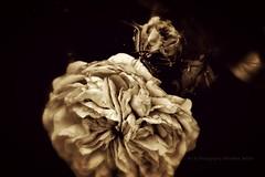 Beauteousness (Art & Photography by Michellea Sefton) Tags: flower art beautiful beauty nikon buds beauteousness d3100