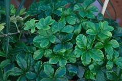 Parthenocissus striata 'Verona Vein' (douneika) Tags: verona vein vitaceae parthenocissus striata