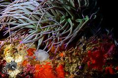 Leach's Spider Crab (ShaunMYeo) Tags: night diving scubadiving gibraltar calpe underwaterphotography nightdive  gibilterra ikelite campbay      gibraltr  cebelitark gjibraltar ibraltaro hibraltar xibraltar giobrltar gibraltrs gibraltaras ibilt