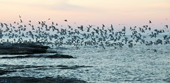Flock in Pink (imageClear) Tags: sunset sky seagulls lake nature beauty evening fly nikon flickr gulls flock lakemichigan photostream eveing 18200mm d7000 imageclear