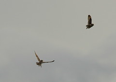 IMGL1057 (briangriffiths673) Tags: birds fight flight owls shorteared