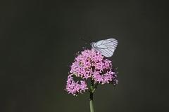 Aporia crataegi (ddgp) Tags: flower butterfly fly wings ali fiore farfalla aporia crataegi profondit