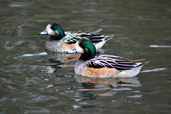 American Wigeon (Poltrebost) Tags: uk england male swimming duck washington american americana anas wwt wigeon rspb anatidae baldpate dabbling anatinae