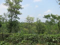 IMG_6809.jpg (Kuruman) Tags: sylhet bangladesh srimangal