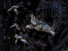 Sin estridencias (Luicabe) Tags: naturaleza exterior ngc explore rbol luis tronco seta aire libre zamora hongo cabello macrofotografa yesca yarat1 enazamorado luicabe