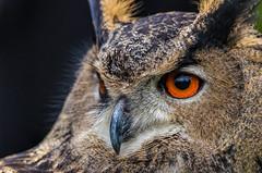 Wise Old Owl (PhillymanPete) Tags: portrait orange bird eye nature intense nikon beak raptor owl wise stare birdofprey eurasianeagleowl eagleowl eurasianowl wiseoldowl raptorshow