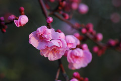 plum_20160213_1 (faeparsons) Tags: flowers blossoms plumblossoms