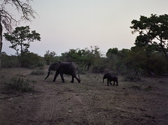A baby and mother elephant (chillbay) Tags: africa camp southafrica safari elephants waterhole krugernationalpark kruger tandatula krugerafrica