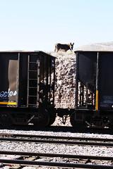donkey on hill above box cars (EllenJo) Tags: railroad train donkeys january donkey az burro canonrebel boxcar freight hilltop digitalimage verdevalley 2016 clarkdalearizona ellenjo ellenjoroberts winterinarizona