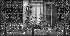 PB190378BBBFAA (john.cote58) Tags: street autumn girls blackandwhite plants fall netherlands leaves amsterdam bike bicycle sign rural outside outdoors vines gate europe monotone sidewalk growth parked poles