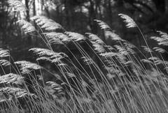 Dancing in the Breeze - Virginia BW (Don Thoreby) Tags: motion grass virginia breeze winds chesapeakebay beachgrass lyrical goldengrass easternus kipotopeakeshore