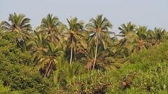 Coco grove (Rahul Chhiber) Tags: ocean sea beach water coast konkan diveagar