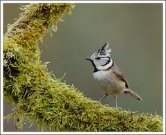 effet boomerang (guiguid45) Tags: bird nature nikon oiseaux sauvage mésange loiret cristatus 500mmf4 huppée superfotos d810 lophophanes passereaux