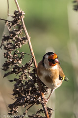 Goldfinch perched on old stem (steve.gombocz) Tags: bird nikon wildlife goldfinch finch rspb oldmoor