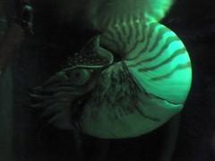 Nautilus (Lebatihem) Tags: nautilus