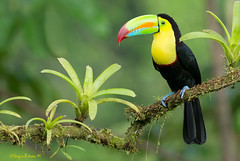 Kell-billed toucan,  Ramphastos sulfuratus,  Tucán pico iris, Tucán piquiverde. (Sergio Bitran M) Tags: bird costarica ave tucan ramphastossulfuratus 2016 piciformes ramphastidae kellbilledtoucan picoiris piquiverde