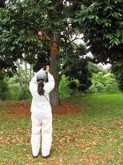 starr-120606-6858-Castanospermum_australe-flowering_habit_with_Kim-Kahanu_Gardens_Hana-Maui (Starr Environmental) Tags: castanospermumaustrale