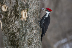Grand pic / Pileated Woodpecker (Roy Yves) Tags: pic pileatedwoodpecker grandpic chteauguay yvesroy hritagestbernard