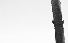 Woodywoodpecker (wesp2011) Tags: bw birds aves pam pajaros palmera woodywoodpecker
