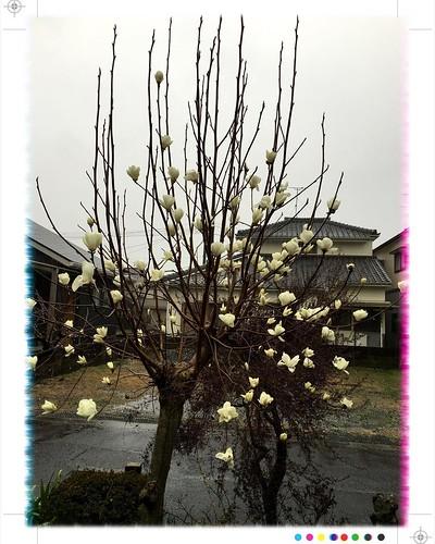 おはようさん♪♪  昨日までの春の陽気とうって変わって、 冷たい冬の雨と風が吹いてる長崎・大村 一昨日暖かさに誘われて一気に咲いた白木蓮の花がこの風雨で散ってしまいそうです…(>_<)  今週は一日だけのお休みの今日、ちょっとだけ遅く起きて、これから洗濯ですが、部屋干しになりますね・・・  皆さまのところはどんな天気でしょうか? 急な寒の戻り、お風邪など召されませぬよう、 お気をつけてお過ごしください♪♪