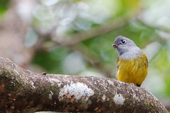 KV4A9519 Grey-headed Canary-flycatcher - Grhovedet Fluesnapper - Culicicapa ceylonensis (Thanks for visit Soes' photo from the lovely natur) Tags: india birds kerala indien munnar fugle flycatchers solveigsterschrder greyheadedcanaryflycatchergrhovedetfluesnapperculici greyheadedcanaryflycatchergrhovedetfluesnapperculicicapaceylonensis