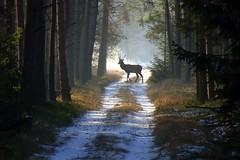 Deer silhouette at morning light (radimersky) Tags: camera morning las trees winter light wild snow animal forest landscape europa europe stag track sony perspective poland polska cybershot deer zima droga compact nieg poranek rano widok wiato drzewa cervus krajobraz perspektywa zwierz lena jele dzikie 1920x1280 dschx90