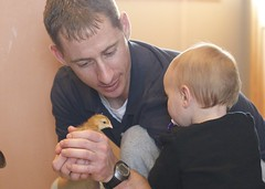Day 75/365. Baby birds and humans. (mickifries) Tags: chickens love daddy dad babies chicks dads familylife babygirls babychickens 365project candidchildhood