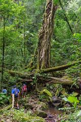Strangler fig on the Warrie Circuit (NettyA) Tags: tree creek track australia trail bushwalking qld queensland bushwalk springbrook stranglerfig goldcoasthinterland 2016 springbrooknationalpark scenicrim seqld warriecircuit bushwalker scbwc sonya7r