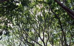 Mighty Fig [Nikon F55 Film] (Aviator195) Tags: park old autumn trees tree green fall film nature leaves century iso200 leaf cool flora nikon branch fig kodak sydney roots australia oldschool retro hyde bark f greenery epson hydepark canopy limb figtree woah v550 olden kodakfilm sydneycbd filmphotography filmphotos nikonf55 cityofsydney f55 filmisnotdead colorplus kodakcolorplus epsonv550 epsonperfectionv550