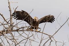 Juvenile Bald Eagle struggles to land - 25 of 27