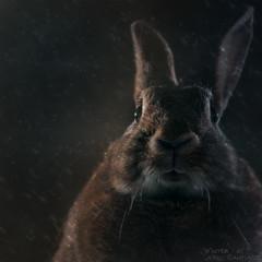 Rainy Night (Jeric Santiago) Tags: pet rabbit bunny animal conejo lapin hase kaninchen   compositephotography winterrabbit