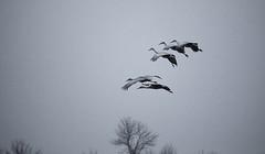Landing (imageClear) Tags: blackandwhite bw tree beauty birds fly aperture nikon flickr wildlife flight cranes landing photostream sandhillcranes bif highiso 80400mm d600 imageclear