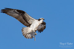 Osprey returns from Home Depot sequence - 6 of 27