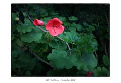 Red Flower (Godfrey DiGiorgi) Tags: california red stilllife usa flower color detail garden us walk neighborhood monastery santaclara