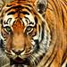 Tiger - Shepreth Wildlife Park
