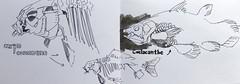 05---Musee-Zoologique (Julien Schleiffer) Tags: fish animals sketch strasbourg atlantico coelacanthe urbansketchers musezoologique
