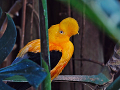 Hes watching you.... (diarnst) Tags: orange bird exotic vogel