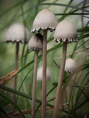 Secret World (Myreality2) Tags: newzealand mushroom forest woods hamilton places fungus waikato toadstool taituaarboretum